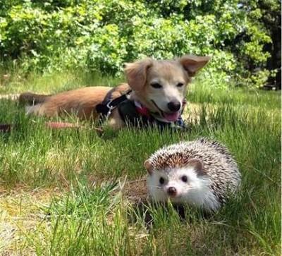 ёжик и собачка